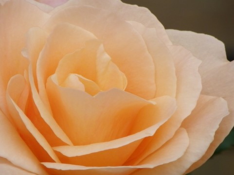 薔薇の変化。
